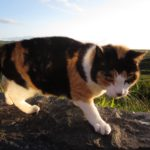 Stray cat at Allihies, Co. Cork