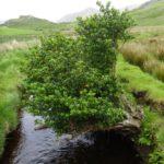 a holly bush